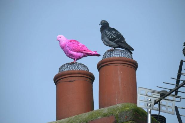The Northern Echo: The shocking pink coloured pigeon perches on a chimney top alongside a feathered friend in Darlington this morning