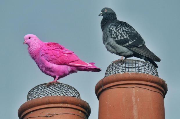 Pink pigeon has bird lovers all of a twitch