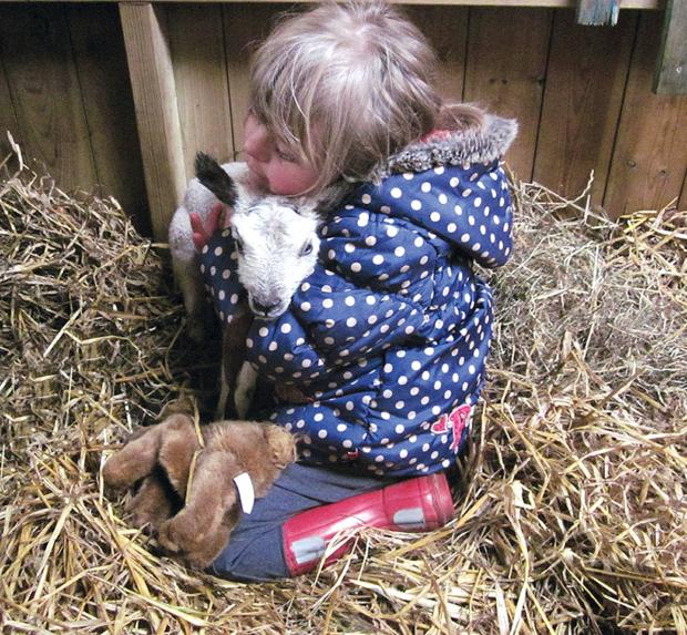 Six year old year old Laura Parker with one of the new batch of suckling lambs