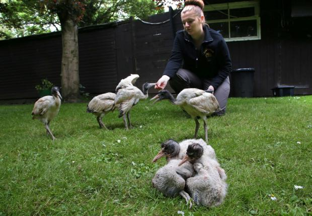 The Northern Echo: NEW ARRIVALS: Kirkleatham Owl Centre volunteer Becky Pinchbeck feeds the young Ibis birds.     Picture: ANDY LAMB
