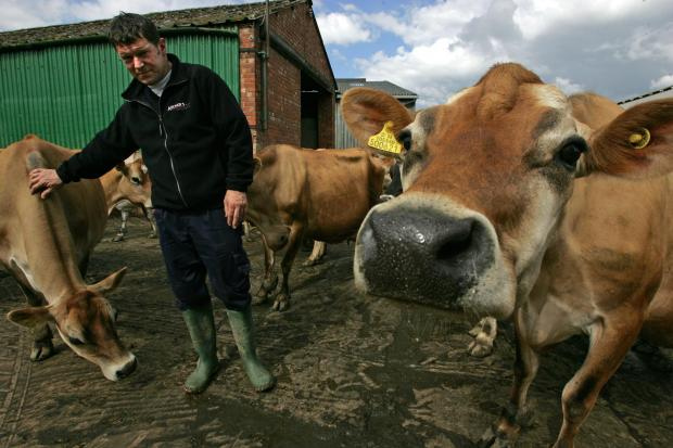 MILKING IT: John Archer, pictured with with some of the Jersey cows from the company's farm