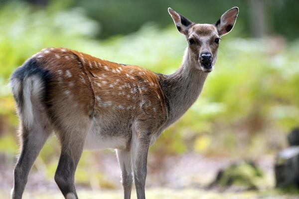SUSPENDED: Two police firearms officers investigated over claims they killed an injured deer with a crowbar