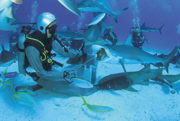 OCEAN VIEW: Marcus Kitching feeds some of the wild sharks in the Bahamas