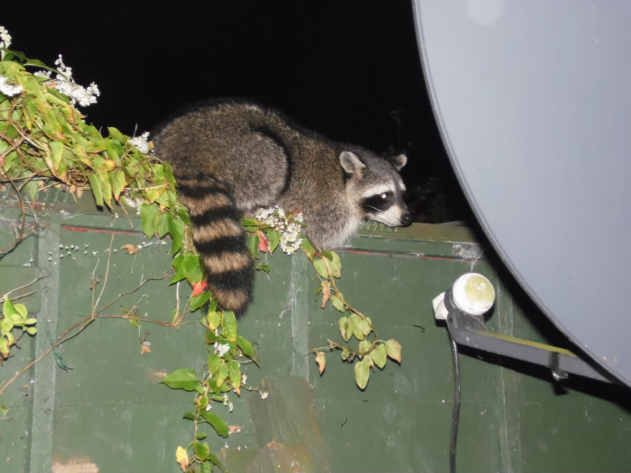 On the fence: The raccoon photographed by Ralph Lowes.