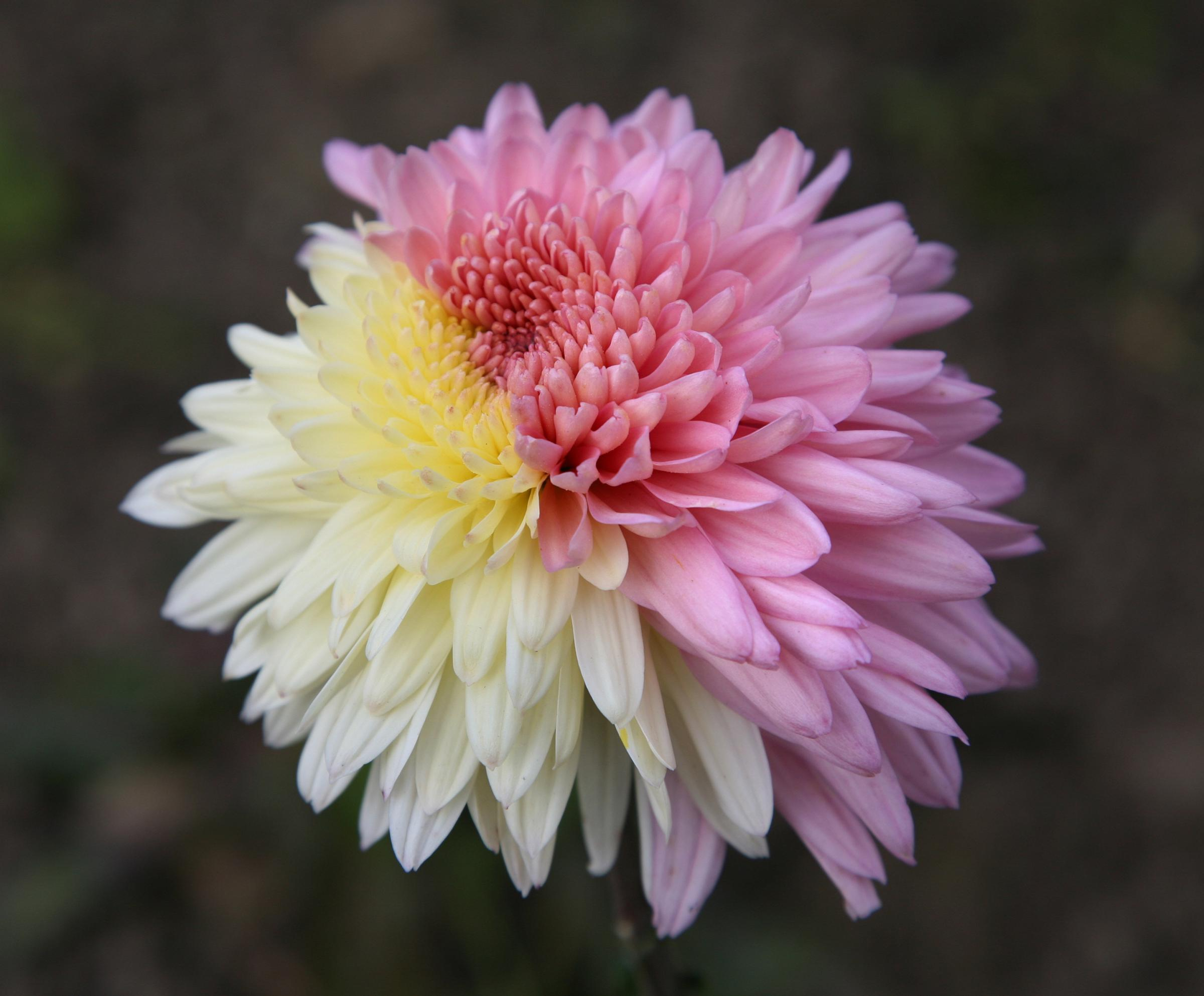 dahlia and chrysanthemum
