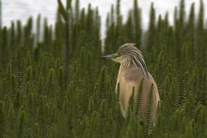 VIDEO: Rare heron stops off at RSPB Saltholme