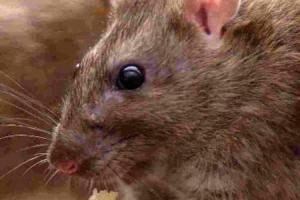 Council introduces new charge for rodent control