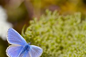 Seaside visitors urged to look out for the common blue butterfly
