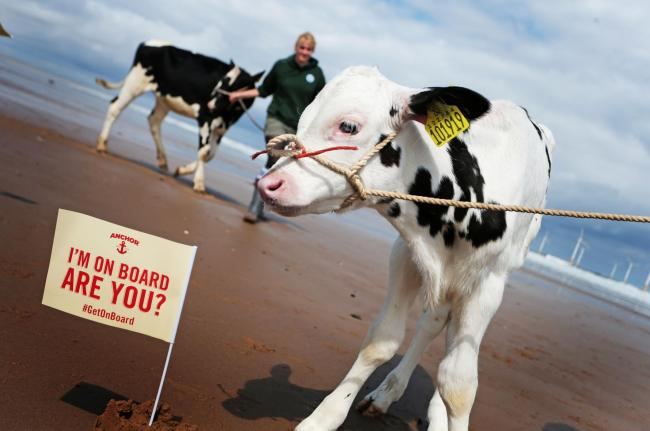 MILK: Several dairy farmers brought cattle to Redcar beach to raise awareness of low milk prices which are threatening their livelihoods. Picture: SARAH CALDECOTT