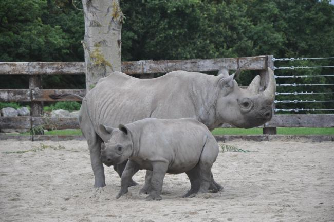 NEW HOME: Black rhino Samira and her nine-month-old calf Olmoti arrive at Flamingo Land