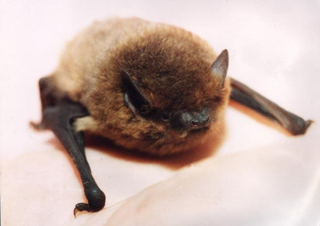BATS: Pipistrelle bats were among those recorded flying around the Kirby Misperton shale gas extraction area
