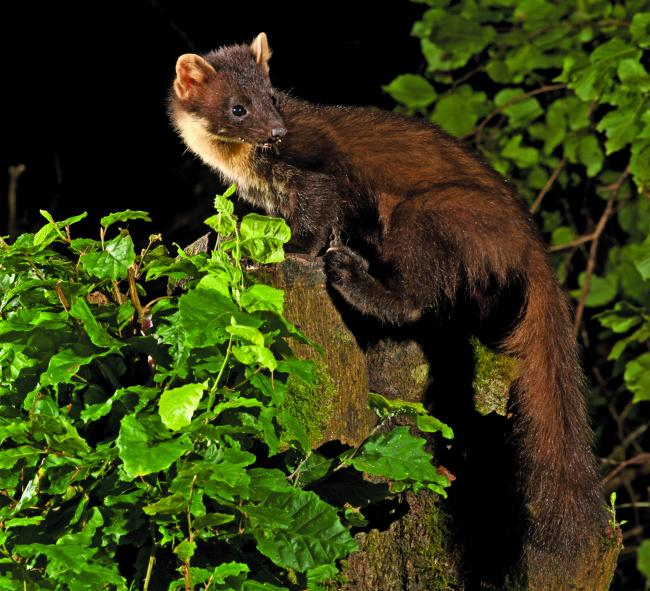 SIGHTING: Are pine martens making their homes in the region? Picture: EDWARD DELANEY