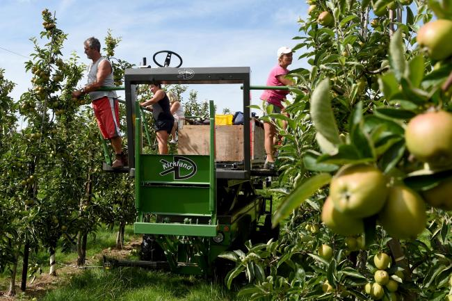 'VITAL': Workers thin trees in the Braeburn apple orchard at Stocks Farm in Worcestershire ahead of the start of the harvest. Apple trees are thinned to imorove the size and quality of remaining fruit ready for harvest