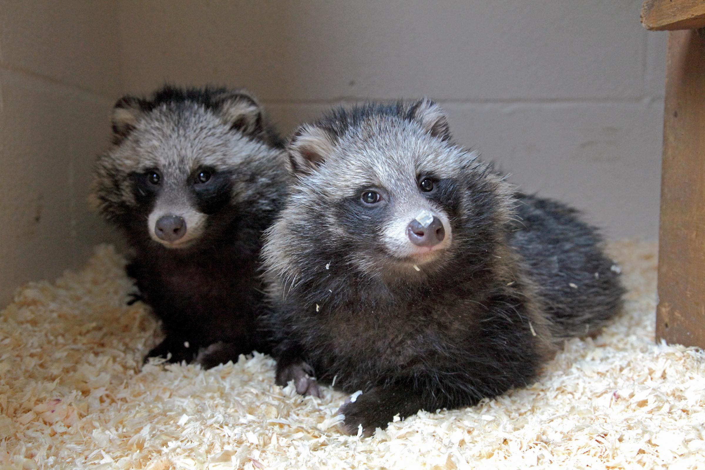 RSPCA: Raccoon dogs being looked after at the West Hatch Wildlife Centre in Wales. Picture Joe Murphy/RSPCA