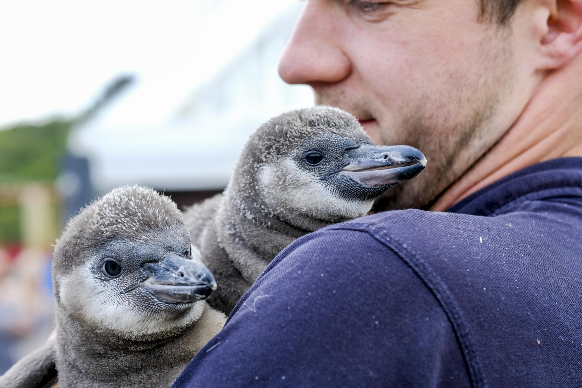PEEKABOO: Todd German, Senior aquarist at Scarborough Sea Life Centre with the new penguin arrivals Hazel and Barnacles.