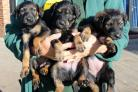 Seven puppies were found a box at the side of a road in Sedgefield, County Durham, before being rescued and rehomed. Picture: DOGS TRUST DARLINGTON