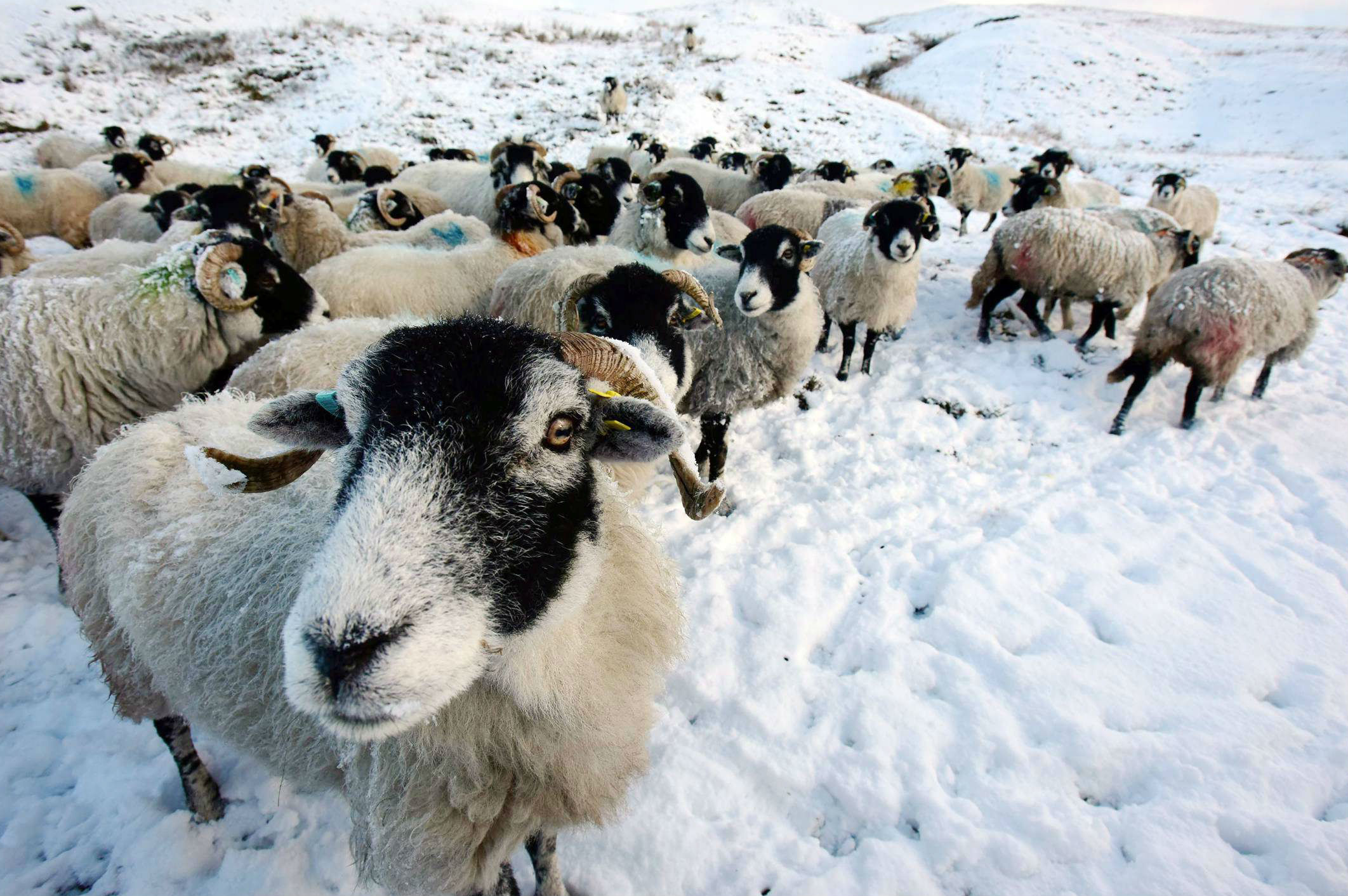 Sheep gather in a snow covered field in County Durham. Picture: NORTH NEWS