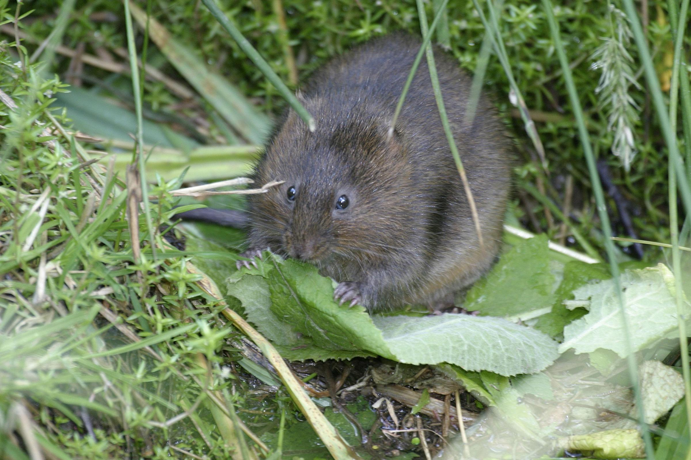 RARE: The water vole is among the rare creatures found in the waterways. Pic: www.wildstock.co.uk
