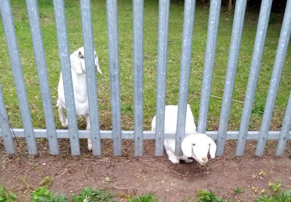 SAVED: A goat was trapped between a metal fence Picture: RSPCA