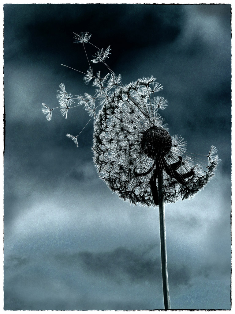 ISOLATION: Dandelion clock by Trevor Lane
