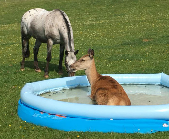 A red deer takes a dip in a paddling pool recently. Picture: Ruth Osborne
