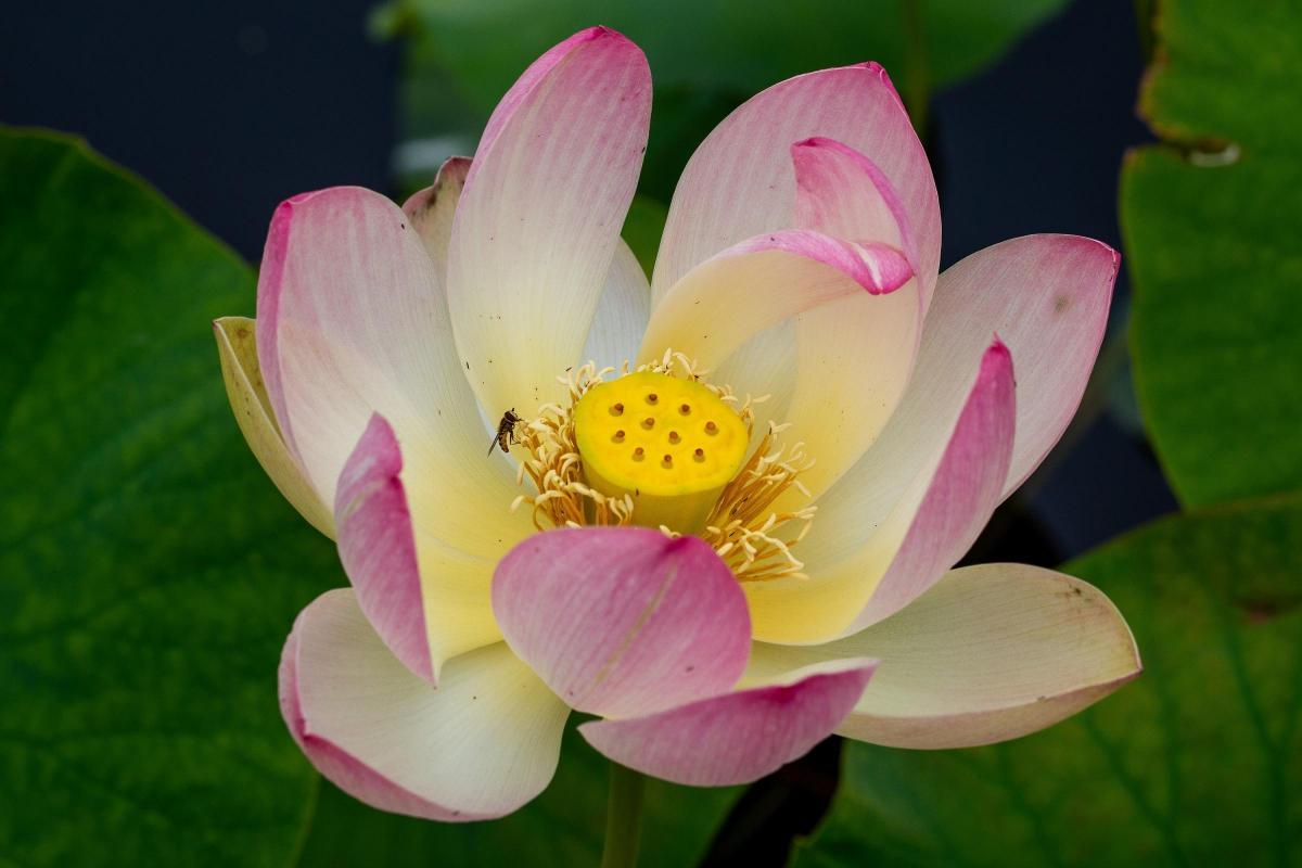 Delight As Heatwave Brings Rare Lotus Into Bloom In Harrogate The