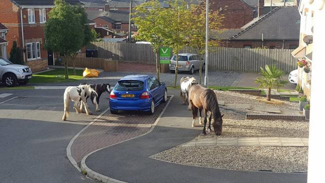 ROAMING: Horses wander into a residential street in St Helen Auckland in August last year