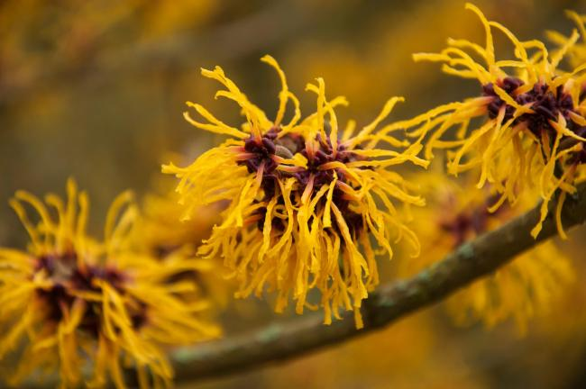 Hamamelis puts on a show from late winter to early spring.