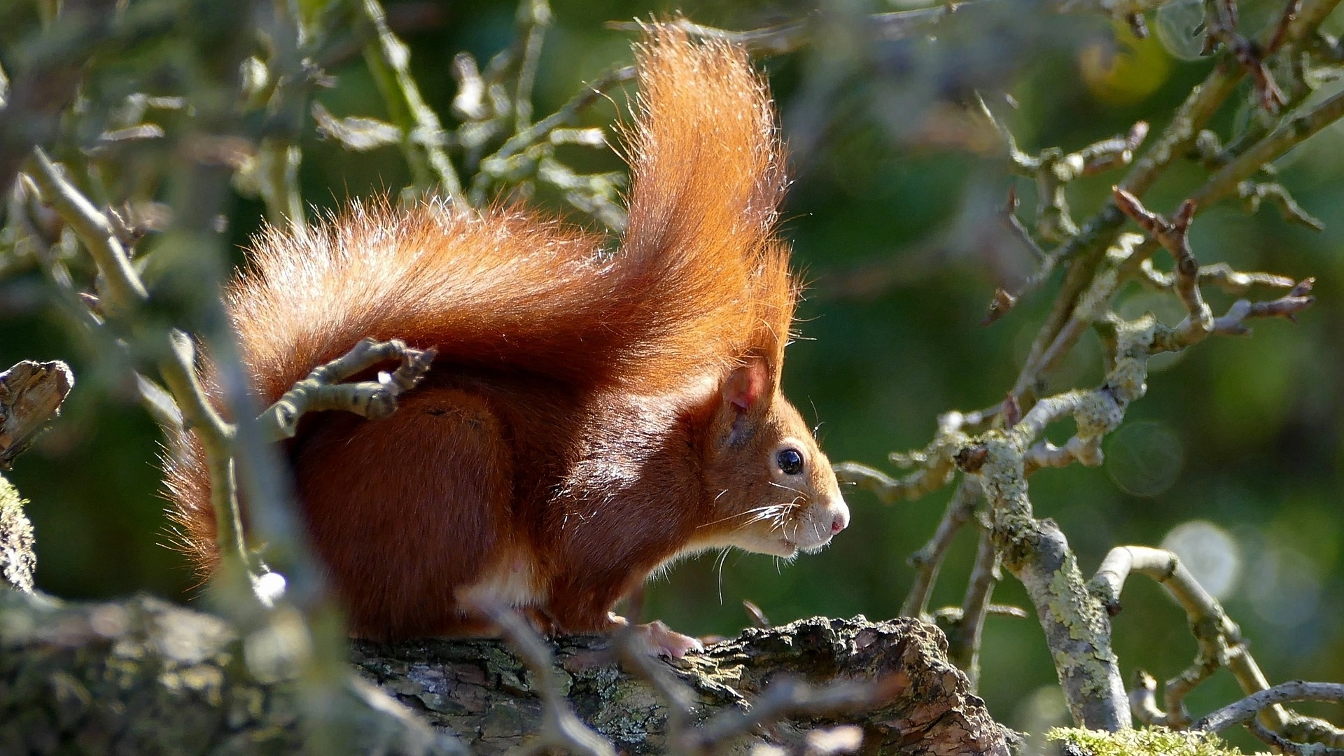 Red squirrel Picture: Pixabay.com