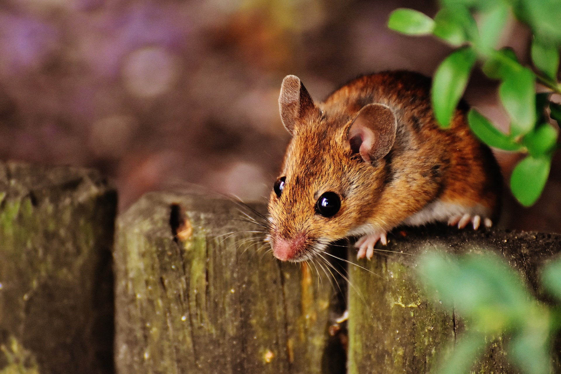 A country mouse on rhe outside, and proud town mouse on the outside Pictre: PIXABAY