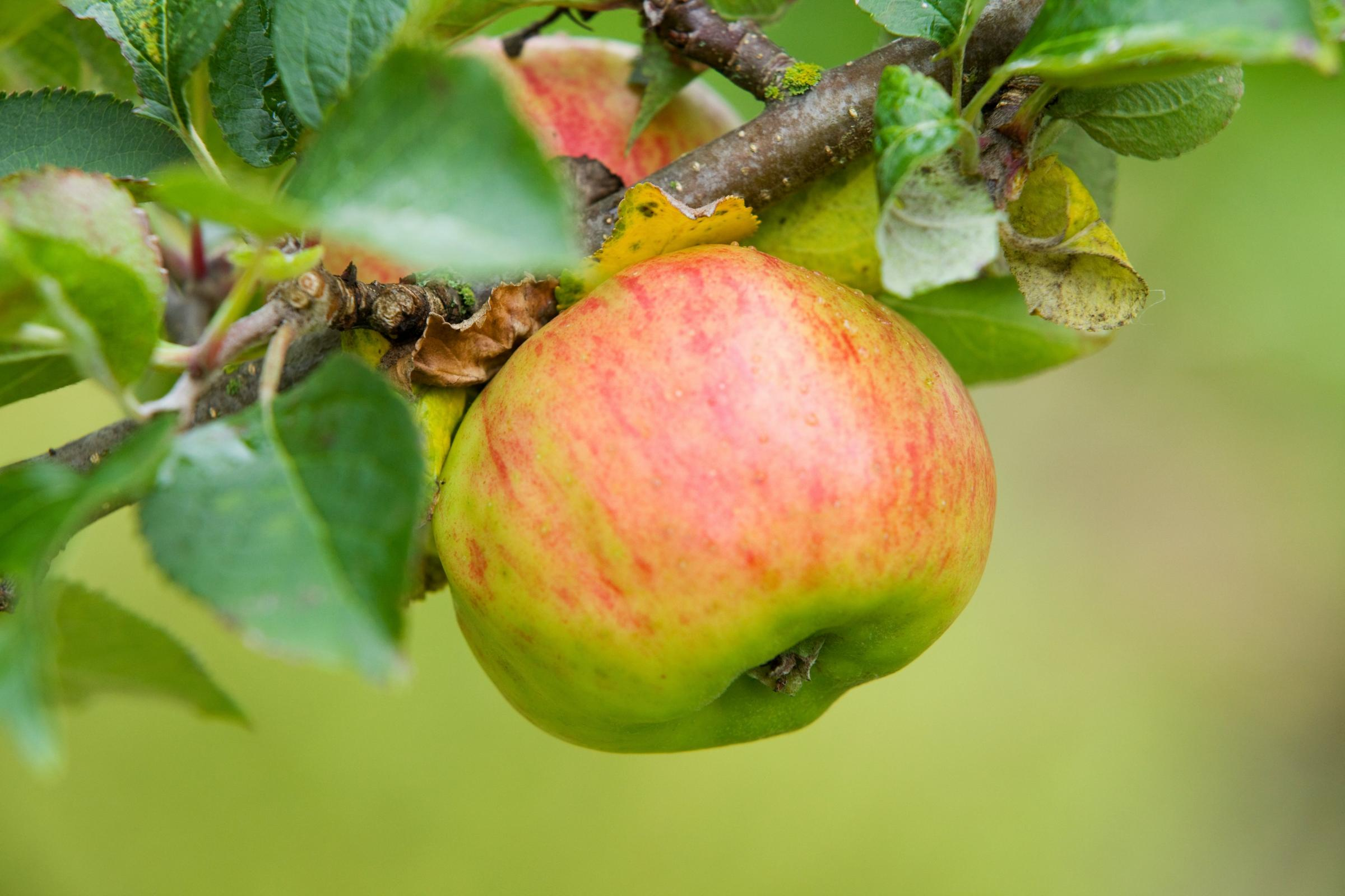 It's been a bumper year for apples, but how do you know when they're ripe for picking?