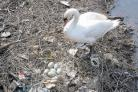 BIRD-WATCHING: A swan nesting beside the River Skerne