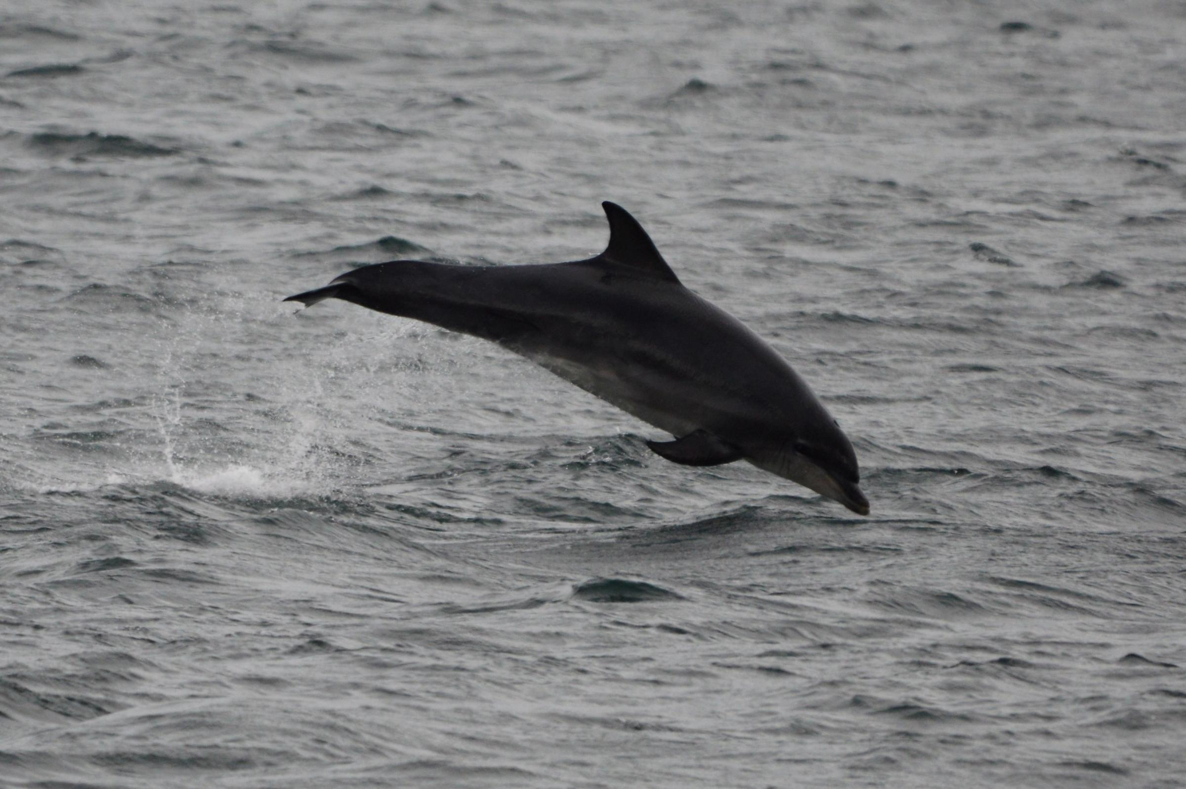 DOLPHIN: Spotted in the survey    Picture: AMBER THOMAS
