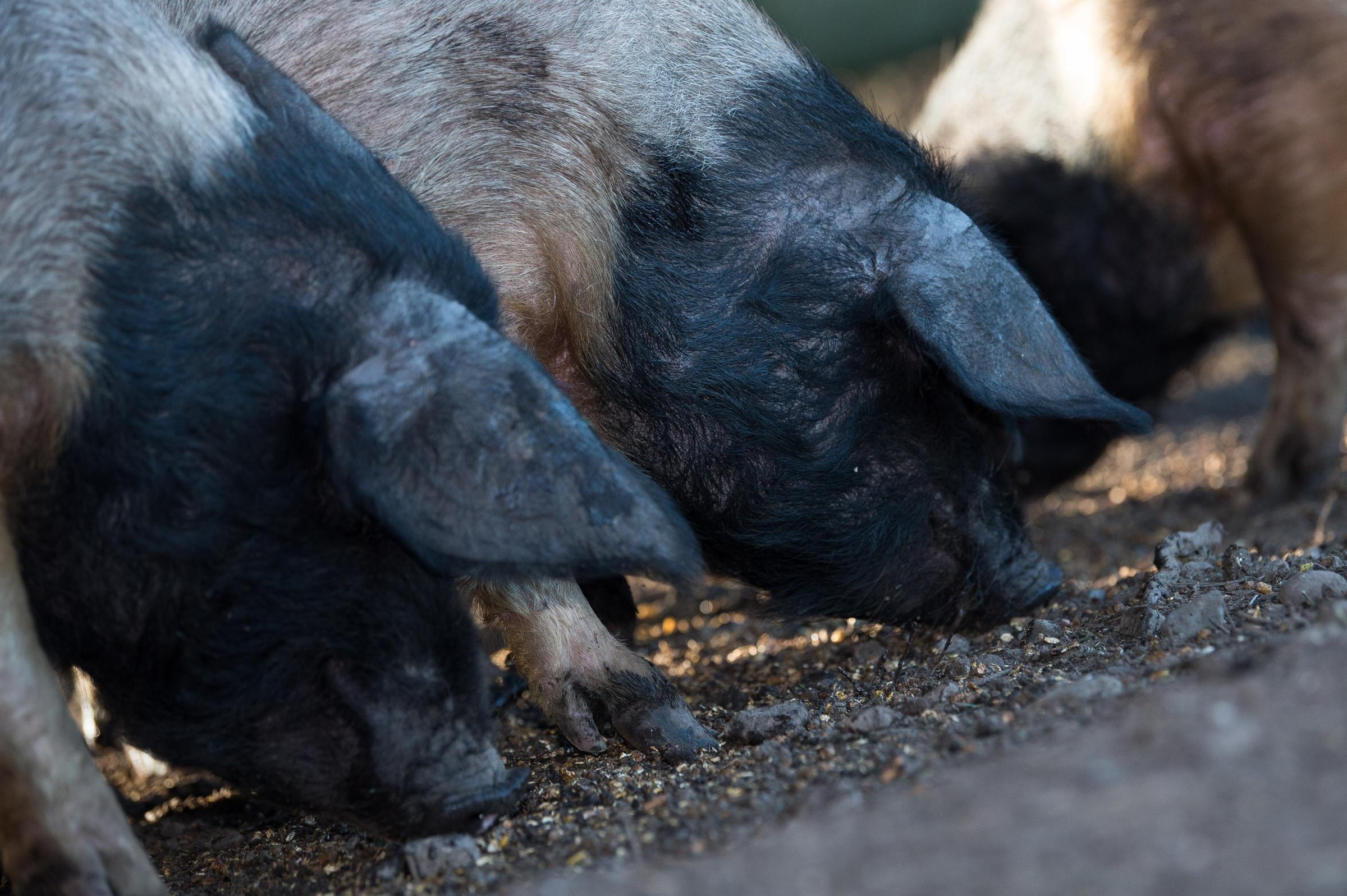 PIGS' FATE: Council and businessman told to discuss immediate prosepects for seized pigs to ensure they realise maximum value