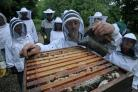 BEE KEEPING: Above, apiary manager Trevor Green smokes out the bees
