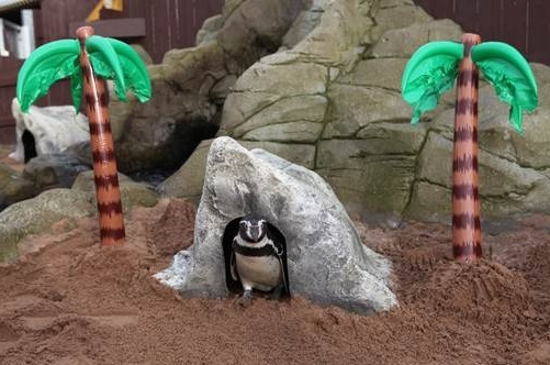 FRESH HOME: Humboldt penguins Benji, Summer, Rosie, Mumbles and Woody are just a few of the penguins enjoying chilling at their new holiday destination