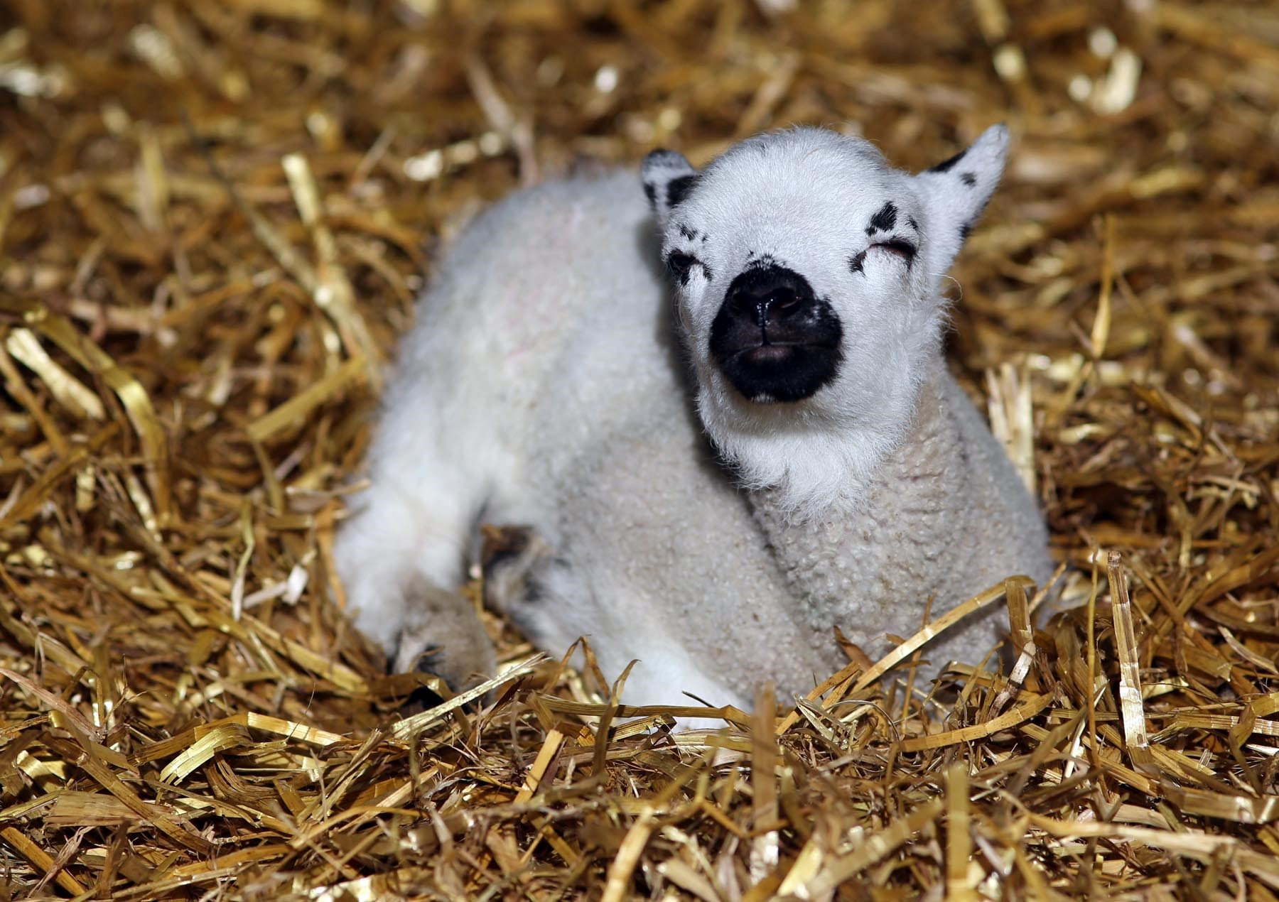 SPRING LAMBS: Lambing watch event at Houghall Farm in Durham.  Picture: CHRIS BOOTH.