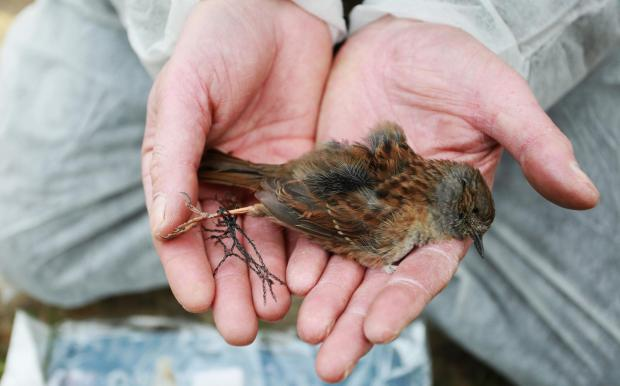 The Northern Echo: Sparrow found in netting