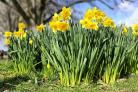 MOTHER'S DAY: A service will be held honouring mothers with posies of daffodils