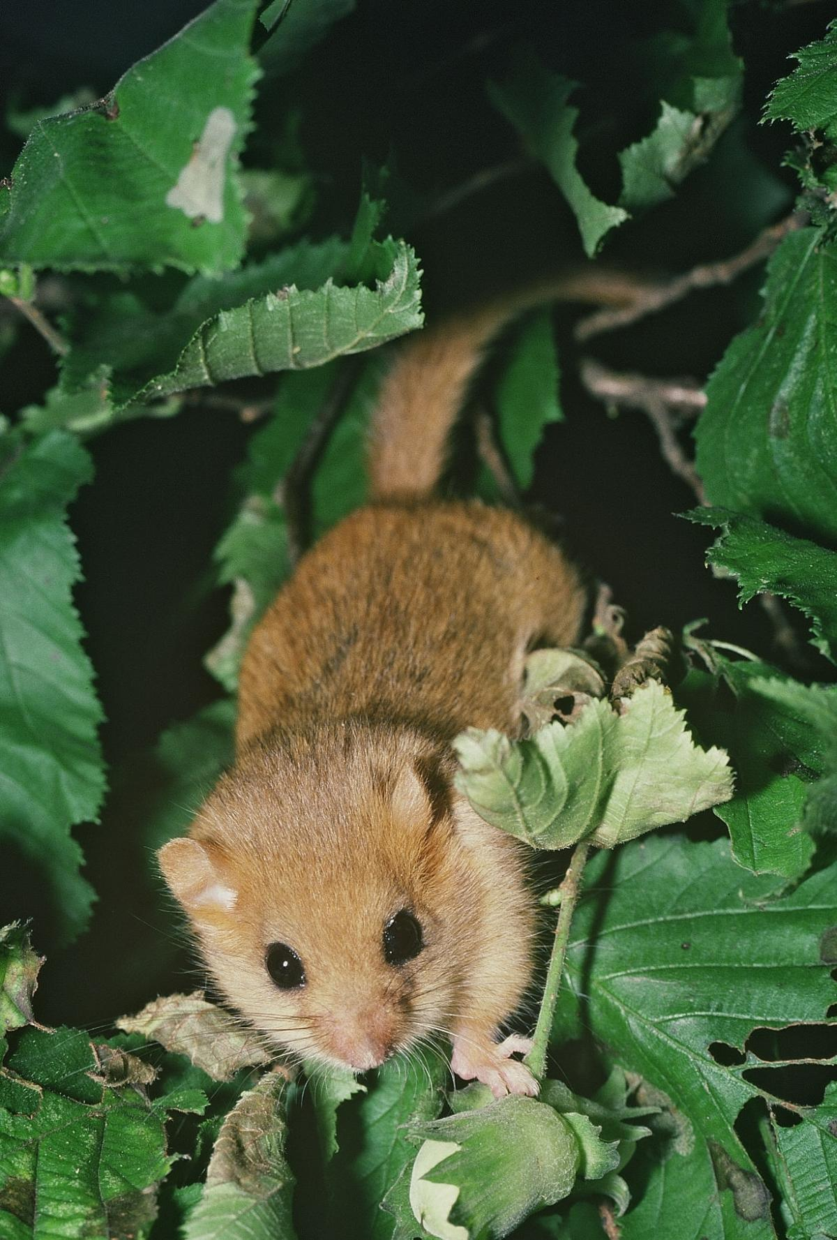SPECIES SURVEY: Durham Wildlife Trust conservation volunteers conducting woodland survey for dwindling dormice  numbers