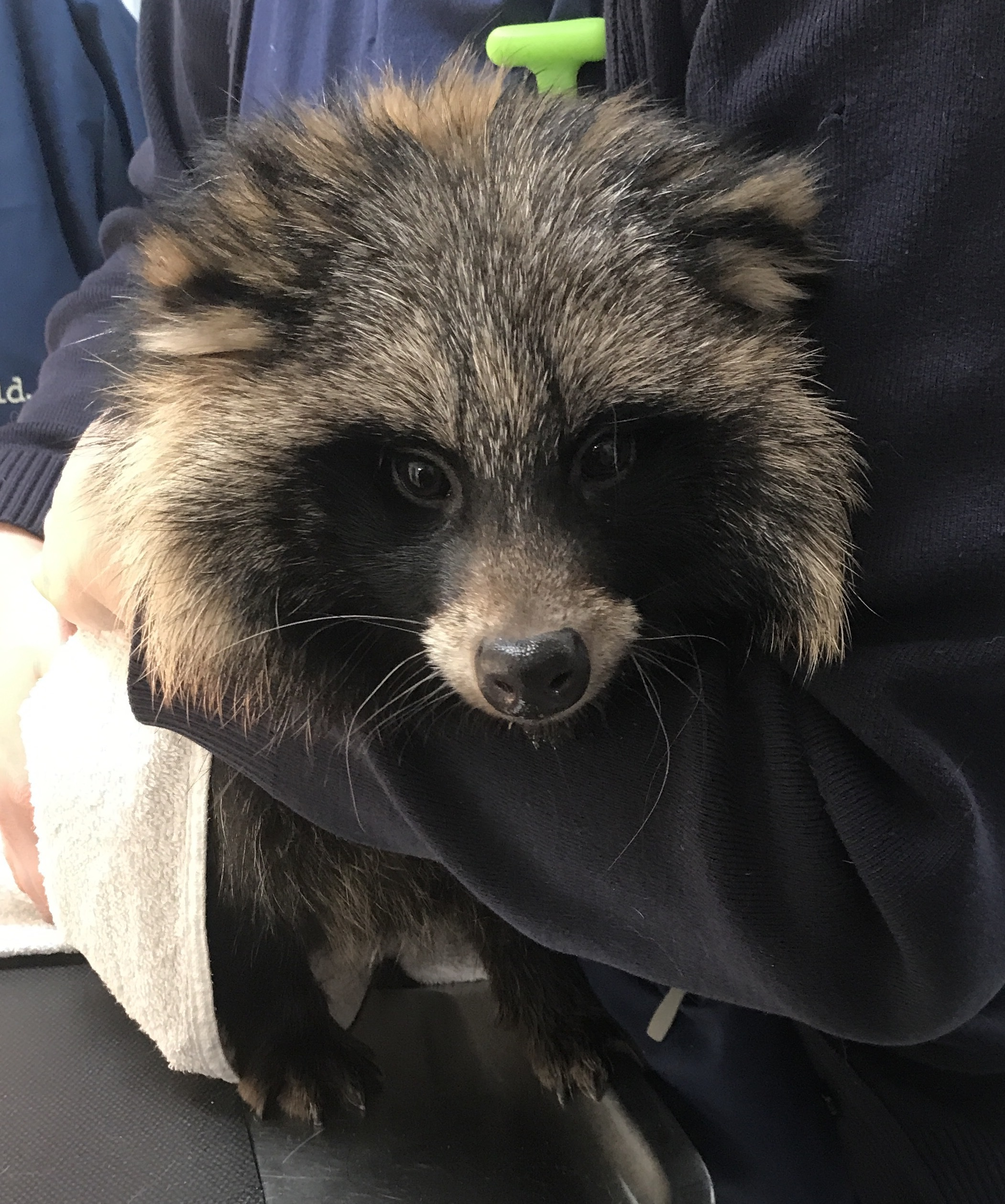 RESCUED ANIMALS: Above, a racoon dog and below, a tiny tortoise, both rescued by RSPCA officers in Durham