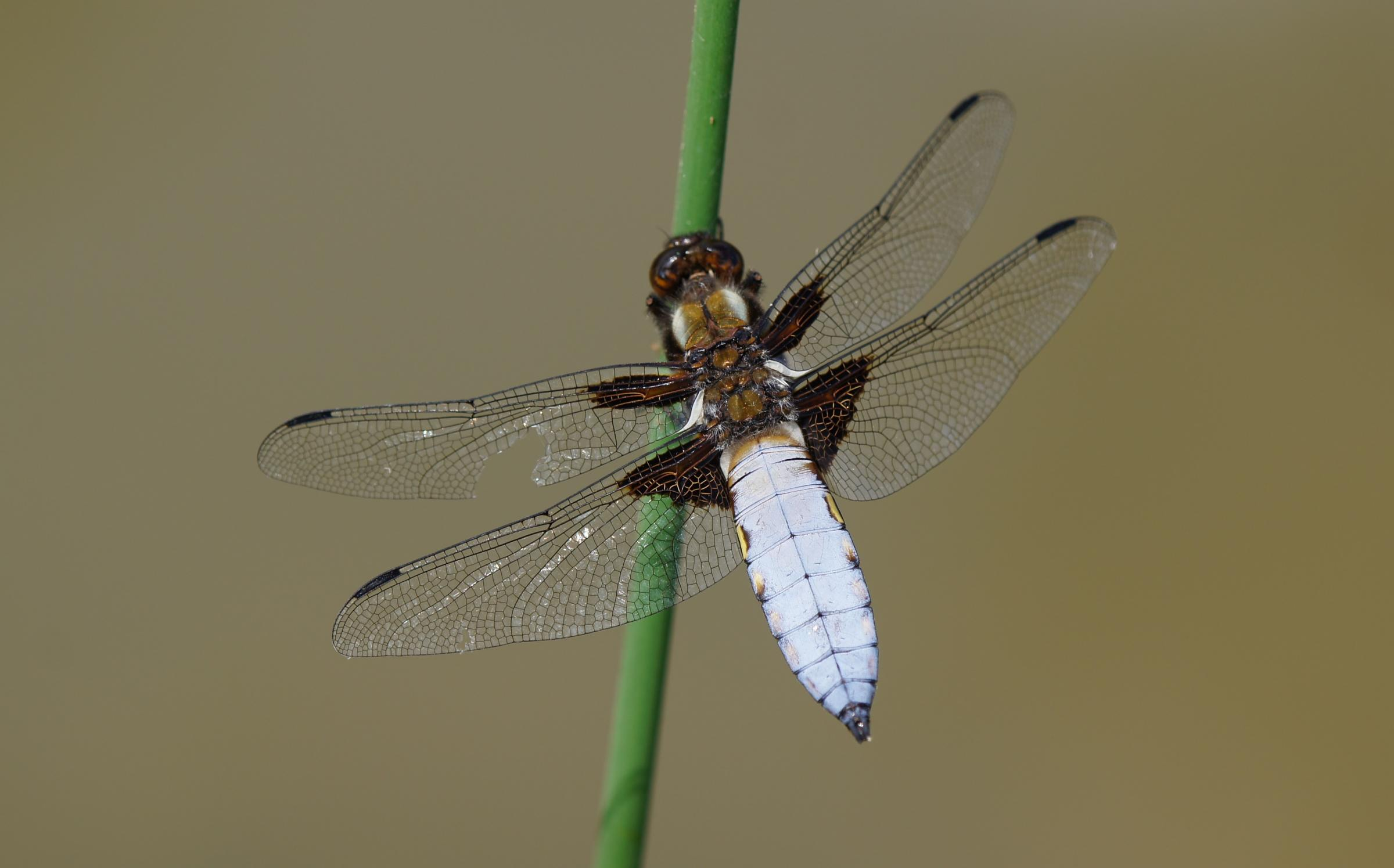 A Broad Bodied Chaser at Low Barns Nature Reserve Picture: MICHAEL COATES