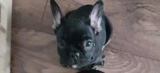 The ten-week old French Bulldog puppy was stolen by masked, armed raiders