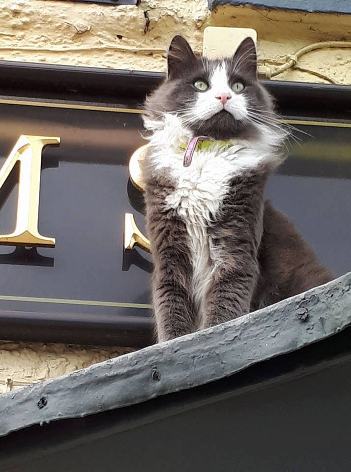 Thirsk: Pub pleads people to stop feeding Norwegian Forest 'Pub Cat'