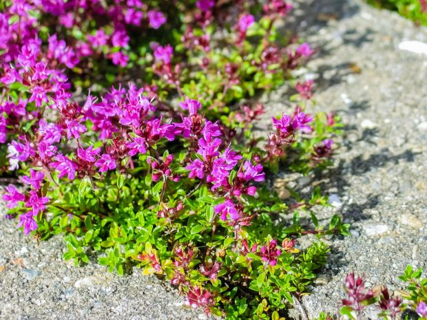 The Northern Echo: Creeping thyme in paving